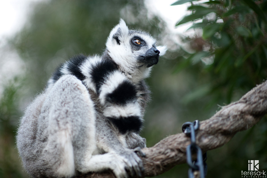 lemur from the Oakland zoo