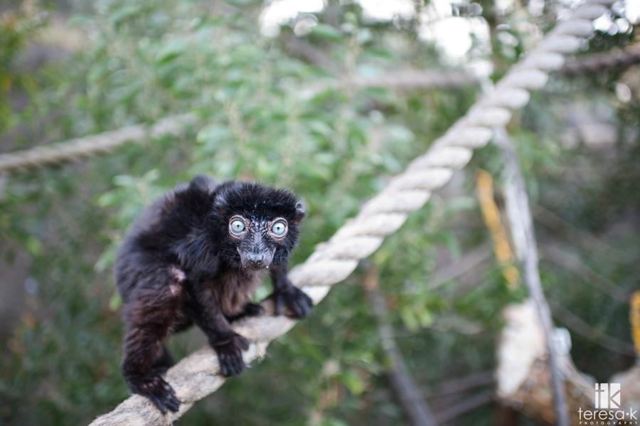 kooky looking lemur from the Oakland zoo