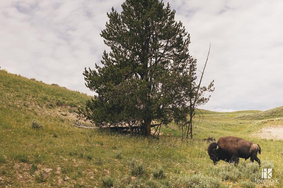 buffalo at Yellowstone park